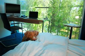 Dog On The Bed In A Hotel Room. Pet In The Bedroom. Nova Scotia Duck Tolling Retriever At Home, Insi