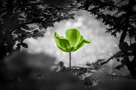 Green Tulip Soul Black White For Peace Heal Hope. The Flower Is Symbol For Power Of Life And Mind St