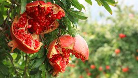 Organic Broken Pomegranate On Branch, Close Up In Mugla, Turkey