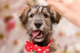 Beautiful Fluffy Puppy In A Red Bow Tie On His Neck. Puppy Happy And Smiling