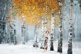 The Dog Stands And Put Its Paws On A Tree. Marble Border Collie By Birch In Winter Outdoors