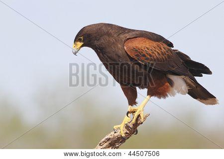 Harris's Hawk (parabuteo Unicinctus) Perched In A Tree - Texas