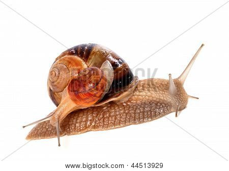 Snails on top of one another. Isolated on white background. poster