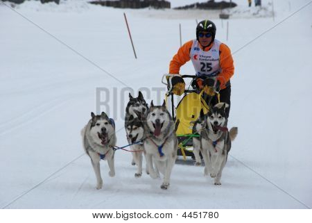 Sled Dog Race Studen