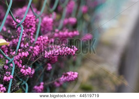 Blooming heather flowers on the garden
