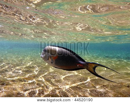 Red Sea surgeon fish swimming in shallow waters