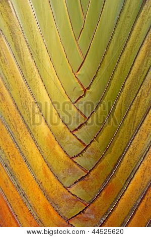 texture and pattern detail of banana fan (Ravenala) poster