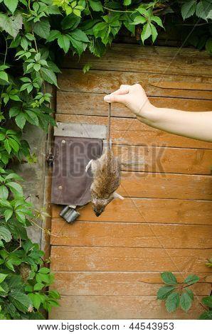 Woman Hand Hold Dead Rat Rural Cellar Door
