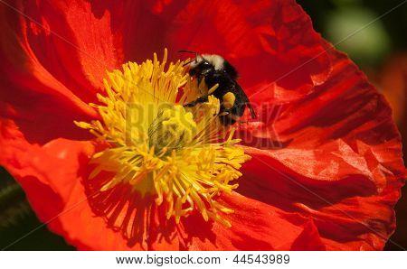 Bumble Bee Orange Poppy Yellow Stamens