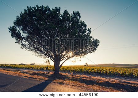 Backlighted Tree,south Africa
