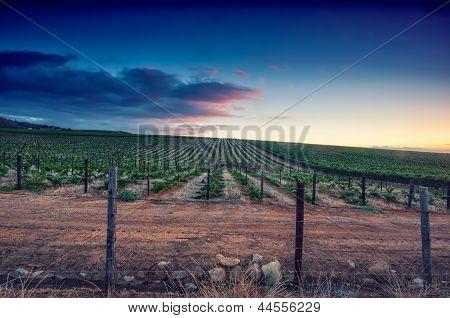 Sunset over a vineyard