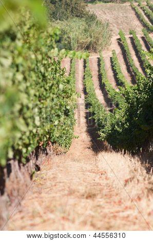 Vineyard - Stellenbosch, Western Cape, South Africa