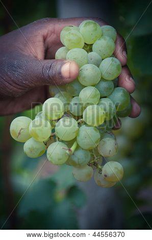 Picking Fresh Grape.