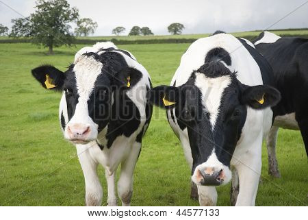 Dairy Farm Cows In Uk