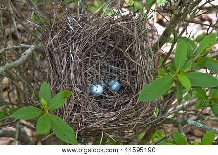 Bluejay Nest