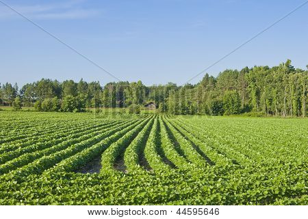 A southern field of rows of early cotton plants. poster