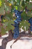 Grape bunches hanging from vine in stellenbosch poster