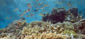 Shallow Indonesian coral reef with fish feeding in gentle current poster