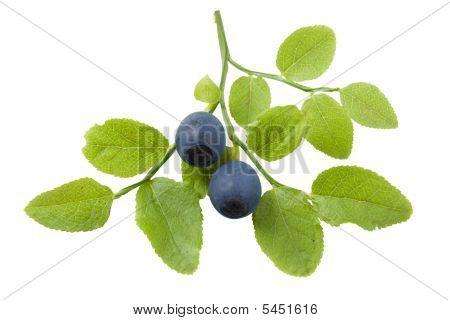 Bilberry Branch