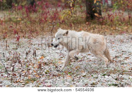 Blonde Wolf (Canis lupus) Runs Left Through Light Snow - captive animal poster