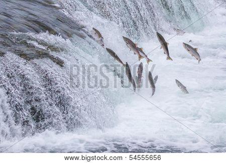 Salmon Jumping Up The Brooks Falls At Katmai National Park, Alaska