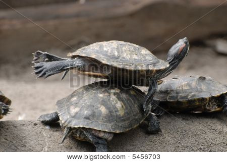Group Of Little Tortoises