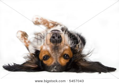 Dog Lying Upside Down