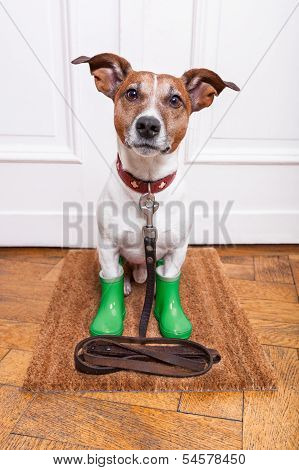 dog with green rubber rain boots waiting to go walkies in the rain and cold weather poster
