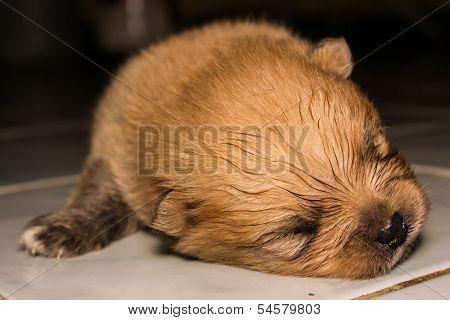 Little Fluffy Pomeranian Puppy