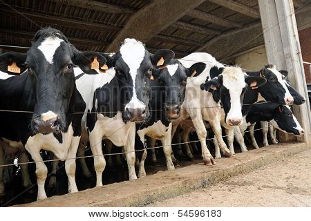 Black And White Holstein Cows