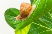 Large grape snail with short moustaches creeping on green sheet poster