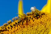 bee collects pollen in the sunflower  poster