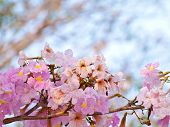 Pink trumpet tree flower blooming in valentine's day like sweet dream (Tabebuia rosea Family Bignoniaceae common name Pink trumpet tree Rosy trumpet tree Pink Poui Pink Tecoma) poster
