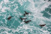 Humboldt penguins swimming in the peruvian coast at Ica Peru poster