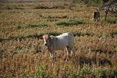Asian cows in the harvested paddy field. poster