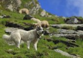 Shepherd dog in a mountainous area.Location:Carpathians Romania poster