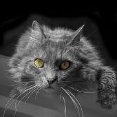 Siberian cat lying on a desk - monochrome poster