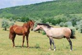 two friendly horses playing at green meadow poster