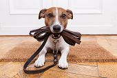 dog with leather leash waiting to go walkies poster