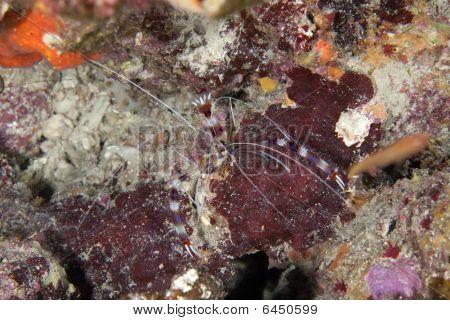 boxer shrimp taken in the Red Sea. poster