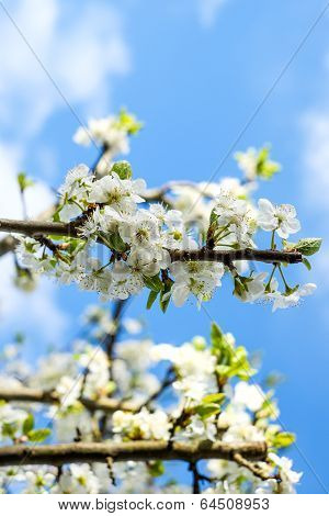 Apple Tree In Full Blossom Against A Clear Blue Sky