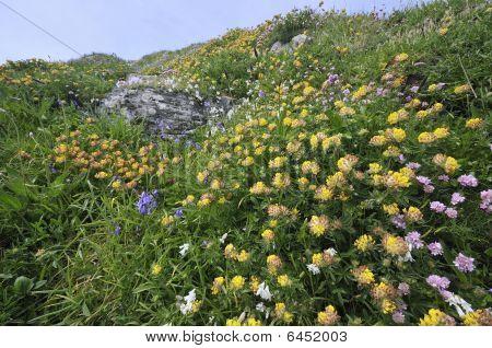 Clifftop flowers at Lizard Point