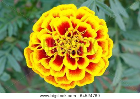 Close Up Of French Marigold