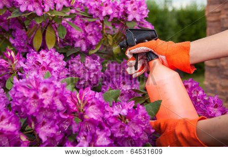 Protecting azalea plant from fungal disease or aphid, gardening concept