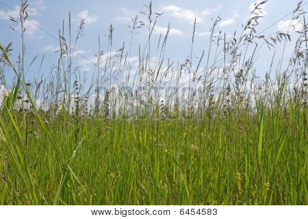 Grass Stems On Blue Sky