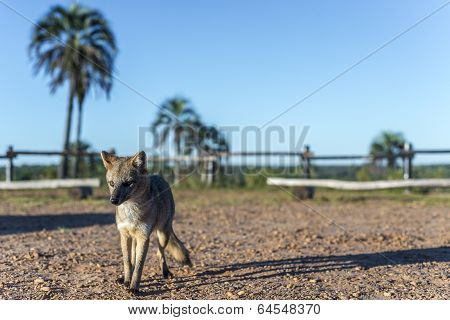 Mountain Fox On El Palmar National Park, Argentina