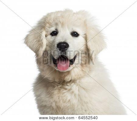 Headshot of a Polish Tatra Sheepdog puppy (3 months old)