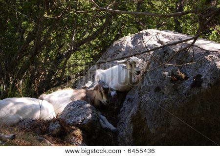 White goats resting in the shadow onder a tree. poster