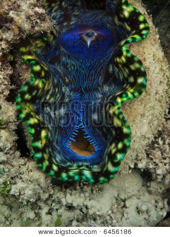 Closeup Of Giant Clam Mouth At Great Barrier Reef Australia