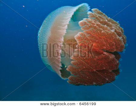 Box Jelly Fish Closeup Great Barrier Reef Australia